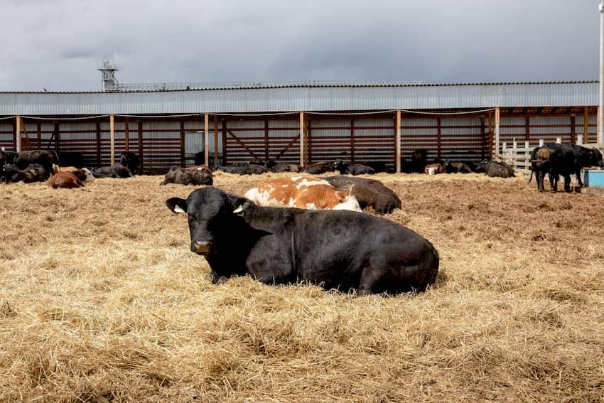 Коровы Ферма М2