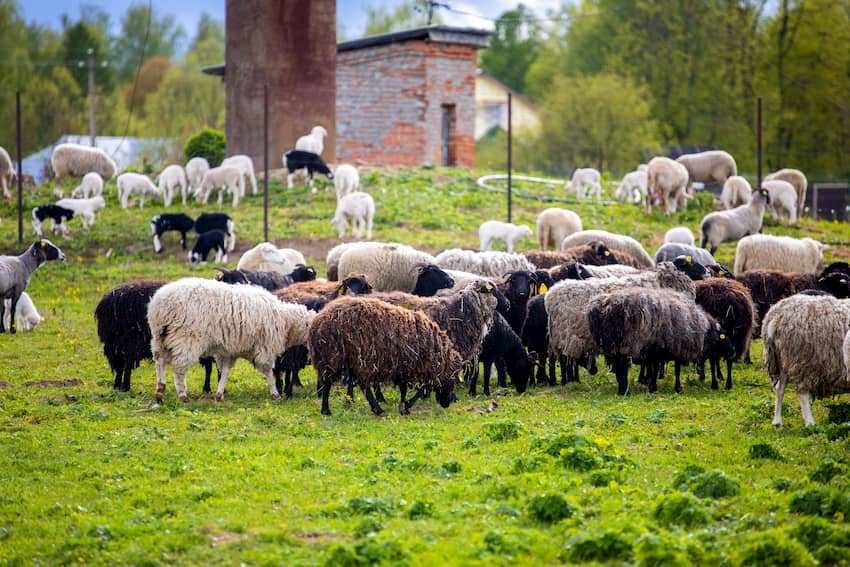 Овцы фермы М2